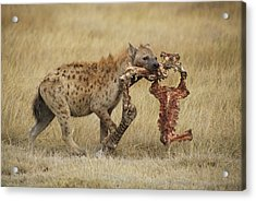 A Spotted Hyena Carries A Piece Acrylic Print by Tim Laman