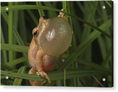 A Spring Peeper Faces The Camera Acrylic Print by George Grall