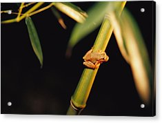 A Spring Peeper Frog Perches Acrylic Print by Raymond Gehman