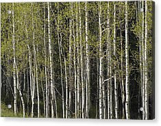 A Stand Of Aspen Trees At Wolf Creek Acrylic Print by Rich Reid