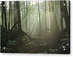 A Tangle Of Buttressed Roots In A Misty Acrylic Print by Tim Laman