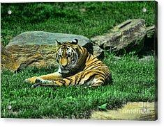 A Tiger's Gaze Acrylic Print by Paul Ward