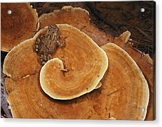 A Toad Sits On A Wooly Velvet Polypore Acrylic Print by Darlyne A. Murawski