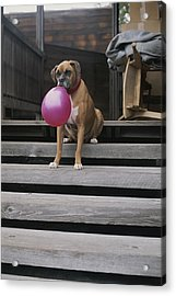 A Tough Looking Boxer Delicately Holds Acrylic Print by Marc Moritsch