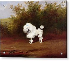 A Toy Poodle In A Landscape  Acrylic Print by Frederick French