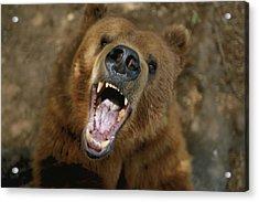 A Trained Kodiak Bear With Its Mouth Acrylic Print by Joel Sartore