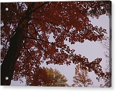 A Tree Displays Bright Red Autumn Acrylic Print by Stephen Alvarez
