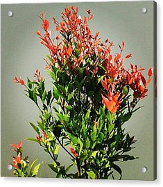 A Tree That Gives Red New Leaves When Acrylic Print