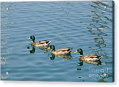 A Trio Of Mallards Acrylic Print
