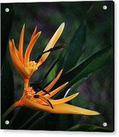 A Tropical Flower, Humming Birds Feed Acrylic Print