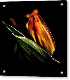 A Tulip With Sheen Acrylic Print by David Patterson
