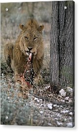 A View Of A Lion Panthera Leo Eating Acrylic Print by Des &Amp Jen Bartlett