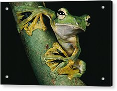 A Wallaces Flying Frog, Rhacophorus Acrylic Print