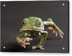 A Waxy Monkey Frog Phyllomedusa Acrylic Print by Joel Sartore