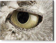 A Western Screech Owl Otus Kennicottii Acrylic Print by Joel Sartore