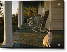 A White Cat In Sunlight On A Columned Acrylic Print by Joel Sartore