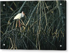 A White Ibis Perches On A Mangrove Tree Acrylic Print by Klaus Nigge