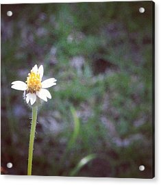 A Wild Flower, Grows Almost Everywhere Acrylic Print
