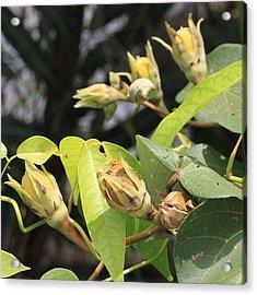 A Wild Fruit Amongst The Mangroves Acrylic Print