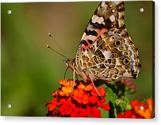 A Wing Of Beauty Acrylic Print
