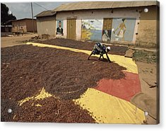 A Woman Spreads Brown Cacao Beans Acrylic Print by James L. Stanfield
