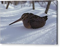 A Woodcock Sits In The Snow Acrylic Print by Bill Curtsinger
