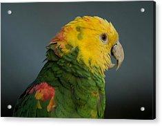 A Yellow-headed Amazon Parrots Amazona Acrylic Print by Joel Sartore