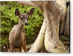 A Young Deer In A Grove Of Rare Acrylic Print by Charles Kogod