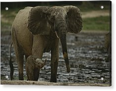 A Young Female Forest Elephant Stands Acrylic Print by Michael Fay