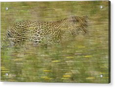 A Young Female Leopard Moving Acrylic Print by Michael Melford