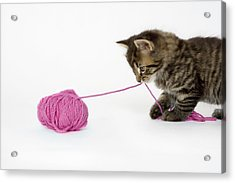 A Young Tabby Kitten Playing With A Ball Of Wool. Acrylic Print by Nicola Tree