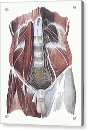 Abdominal Spinal Nerves Acrylic Print by Sheila Terry
