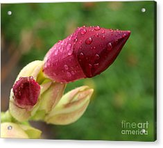 About To Bloom Acrylic Print by Chris Hill