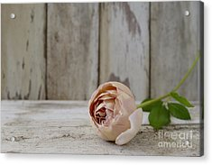 Abraham Darby Acrylic Print by Cindy Garber Iverson
