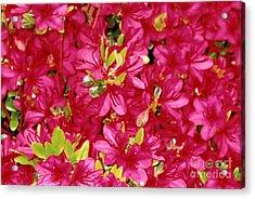 Abundant Azaleas Acrylic Print