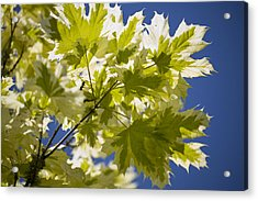 Acer Platanoides 'drummondii' Acrylic Print by Dr Keith Wheeler