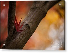 Acer Soliloquy Acrylic Print by Mike Reid