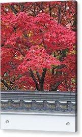 Acer Trees Acer Palmatum. Autumn Color Acrylic Print by Rob Tilley