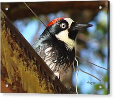 Acrylic Print featuring the photograph Acorn Woodpecker by Linda Cox
