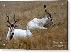 Acrylic Print featuring the photograph Addax Antelope Duo by Charles Lupica