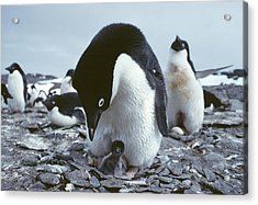 Adelie Penguin With Chick Acrylic Print by Doug Allan