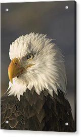 Adult Bald Eagle Acrylic Print by Michael S. Quinton