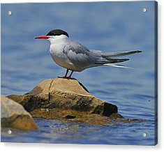 Adult Common Tern Acrylic Print by Tony Beck