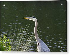 Acrylic Print featuring the photograph Adult Great Blue Heron by Brian Wright