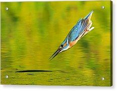 Adult Male Common Kingfisher, Alcedo Acrylic Print by Joe Petersburger