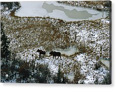 Aerial Of A Male And Female Moose Acrylic Print by Norbert Rosing