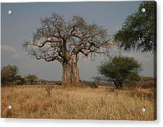 African Baobab Tree In The Tarangire Acrylic Print by Gina Martin