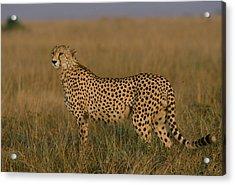 African Cheetah Acinonyx Jubatus Acrylic Print by Michael Nichols