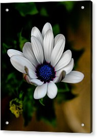 Acrylic Print featuring the photograph African Daisy by Lynne Jenkins