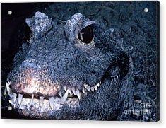 African Dwarf Crocodile Acrylic Print by Dante Fenolio
